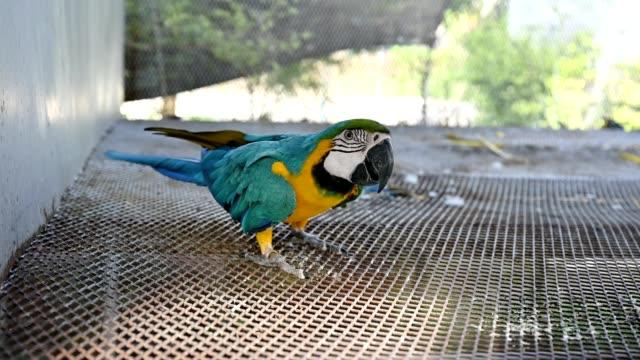 vidéos et rushes de ara ararauna ara bleu et jaune ludique en volière - zoo
