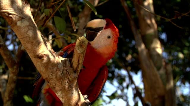 Ara Papagaj on tree video