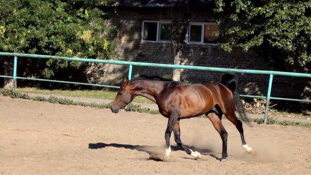 Arabian horses clean and shiny video