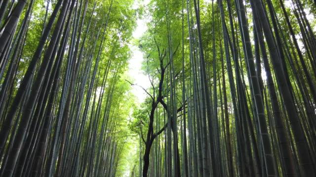arashiyama bamboo forest in kyoto, japan - spektakularny krajobraz filmów i materiałów b-roll
