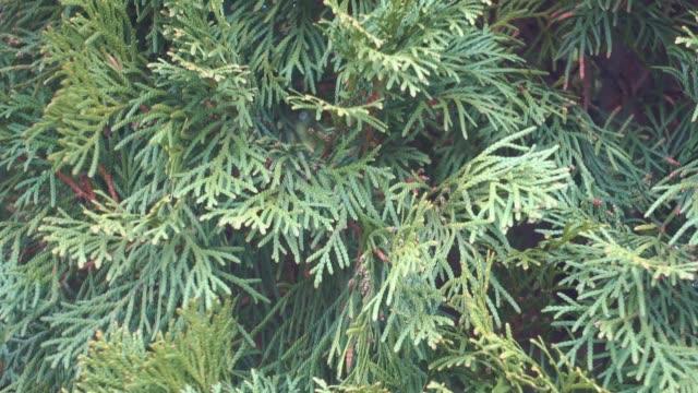 Arborvitae branch with fresh green needle. video