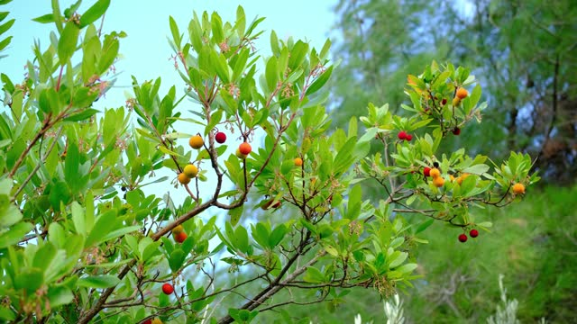 Arbutus or strawberry tree. Evergreen tree with broad leaves and berries like strawberries. 4K