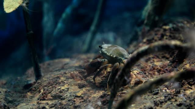 archer fish or toxotes chatareus in mangroves, 4k. - granchio video stock e b–roll