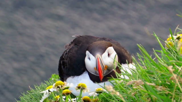 Arctic Puffin Try To Sleep