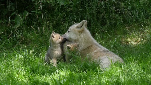 Arctic Wolf, canis lupus tundrarum, Mother and Cub, Real Time 4K