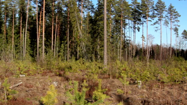 area is surrounded with pine pinus silvestris trees - orticoltura video stock e b–roll