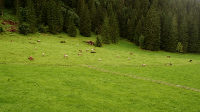 Areal Shot Of Cows video