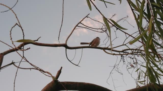 aves de Argentina en santa fe argentina - vídeo