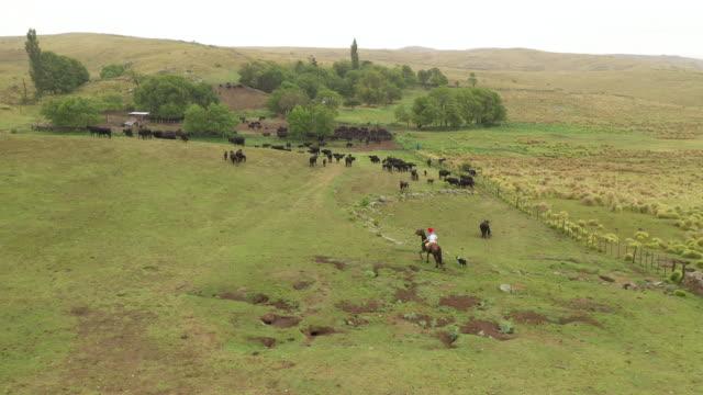 gaucho argentino a cavallo che torna al ranch con il bestiame - argentina america del sud video stock e b–roll