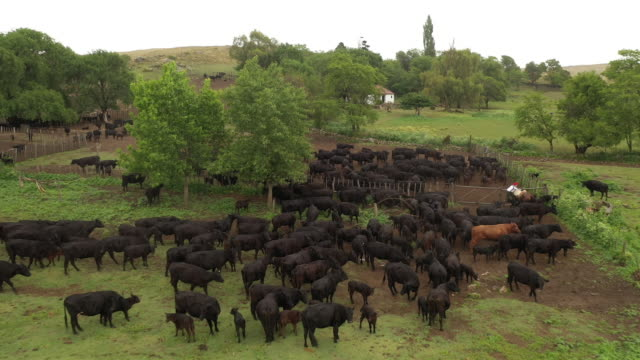 Argentine gaucho opening corral gate for returning cattle