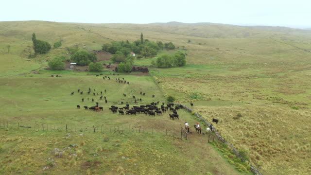 Argentine gauchos herding cattle back to ranch