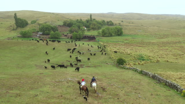 argentine gauchos returning to ranch with dogs and herd - rancher video stock e b–roll