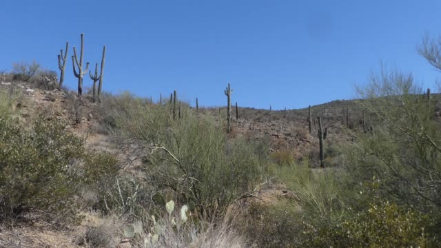 Arizona, Desert, Saguaro cactus and trees on a hill near Bisbee, Arizona