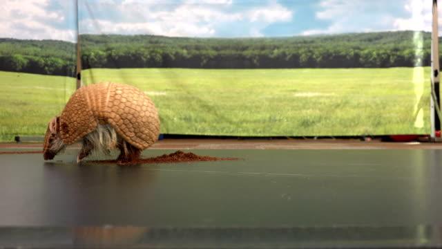 wandern rund um armadillo - ameisenbär stock-videos und b-roll-filmmaterial