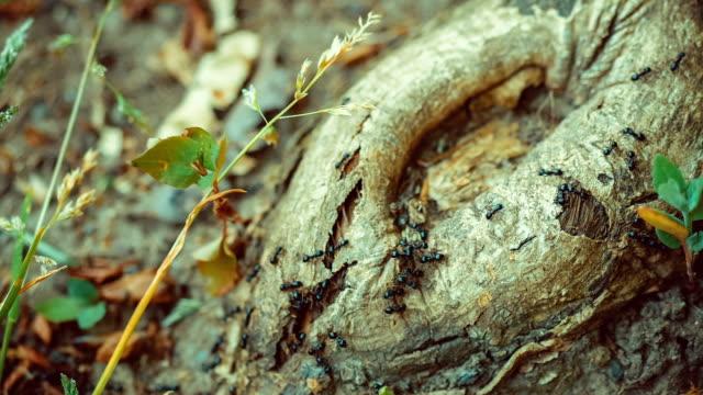 armee ameisen entlang schöne runde stub, baum-wurzel. - ameisenbär stock-videos und b-roll-filmmaterial