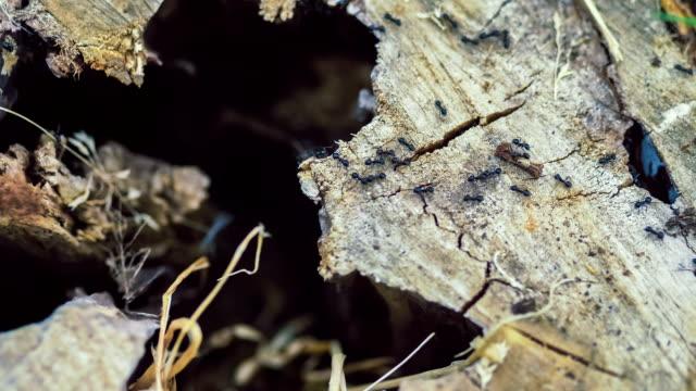 armee ameisen im ganzen baum stub, am morgen - ameisenbär stock-videos und b-roll-filmmaterial