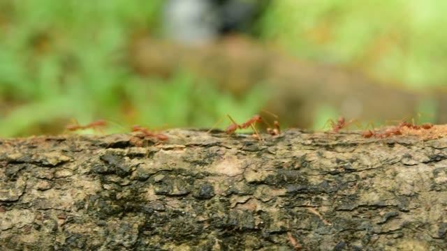 armee ameisen - ameisenbär stock-videos und b-roll-filmmaterial