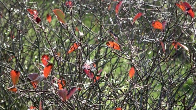Aronia Plantation, Apfelbeeren, chokeberry, black chokeberry, orcharding, fruit growers, Aronia melanocarpaautumn, Spessart, bavaria, 4K video