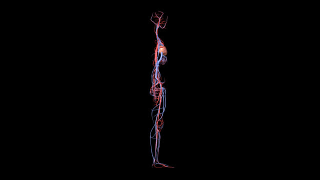 Arteries and Veins Rotation Rotation of human circulatory system including heart. Highly detailed. HD, NTSC, PAL. Seamless loop. Actual video is brighter than preview  blood flow stock videos & royalty-free footage