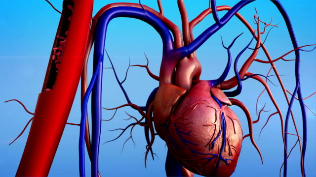 Artery and heart Human heart model, Human Heart Anatomy,  Contraction of blood vessels blood clot stock videos & royalty-free footage