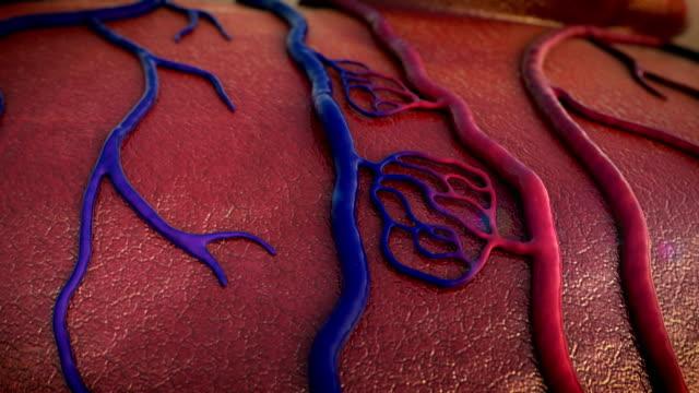 vídeos de stock e filmes b-roll de artéria, veia - sistema cardiovascular