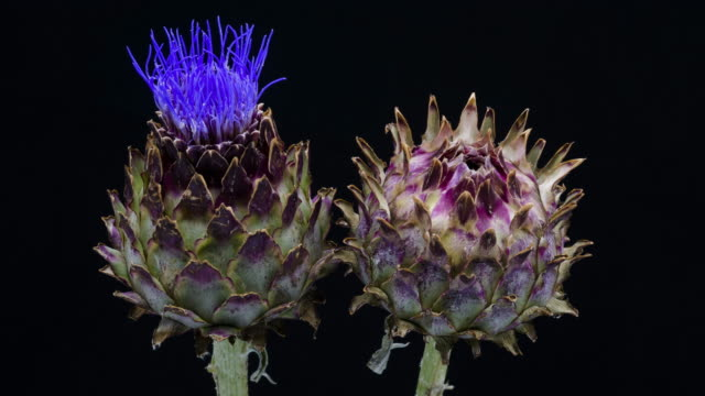 artichoke blooming time lapse - in fiore video stock e b–roll