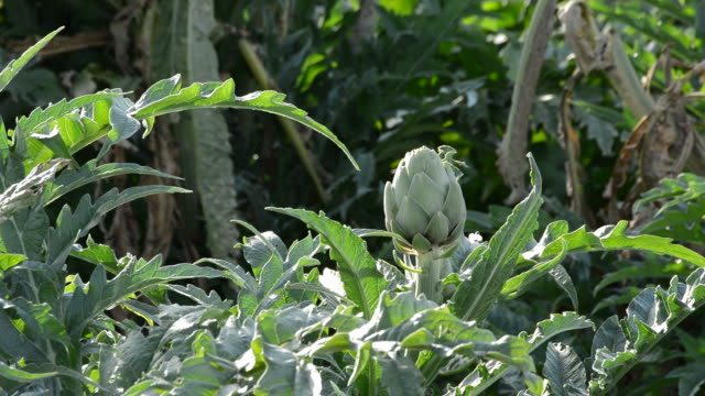 Artichoke in branch of plant in a agricultural plantation ready for harvesting video