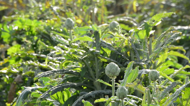 Artichoke vegetable in branch in a agricultural plantation at sunset video