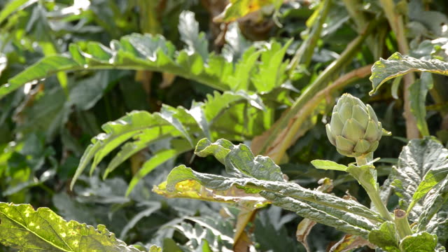 Artichoke vegetable in branch in a agricultural plantation ready for harvesting video