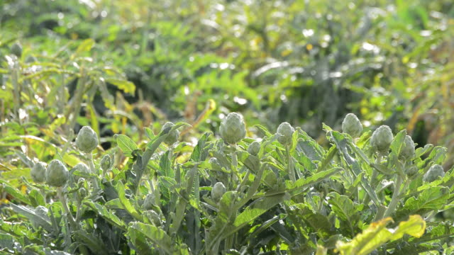 Artichokes vegetables in plant in a agricultural plantation ready for harvesting video