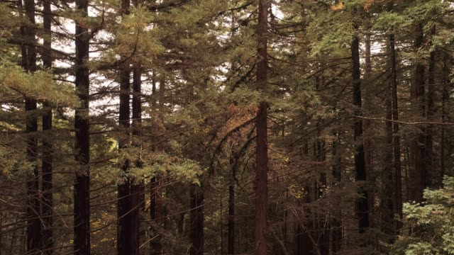 Ascending from the ground to the top of the trees. The forest of Sequoias in Northern California, USA West Coast