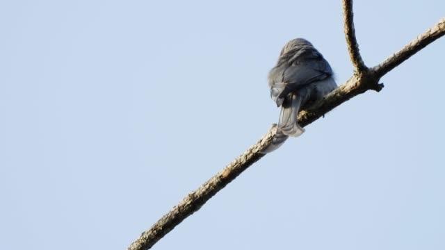 ashy drongo bird catching on tree. - юго восток стоковые видео и кадры b-roll
