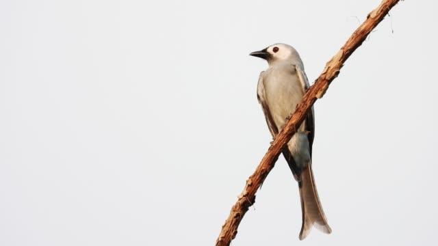 阿西 · 德龍戈鳥在樹上抓。 - 東南 個影片檔及 b 捲影像