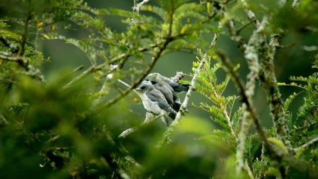 Ashy Woodswallow on the tree in birding Activity at khaoyai National Park , Thailand , Nature and Animal