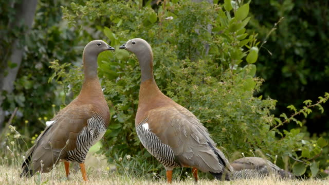 Ashy-Headed Duck Family - vídeo