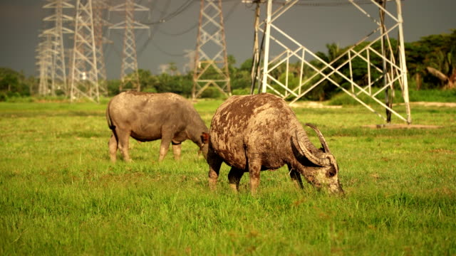 asia buffalo eat grass in green field