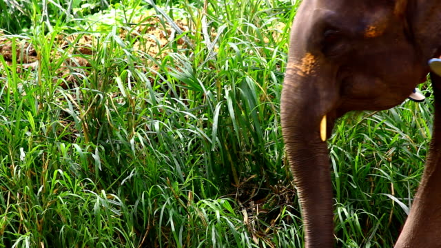 Asia Elephant in forest video