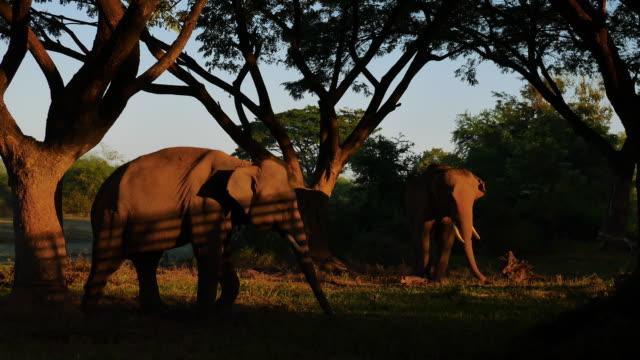 asien elefanten in surin, thailand - großwild stock-videos und b-roll-filmmaterial