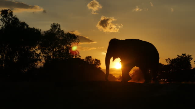asia elephant in the forest at sunset video
