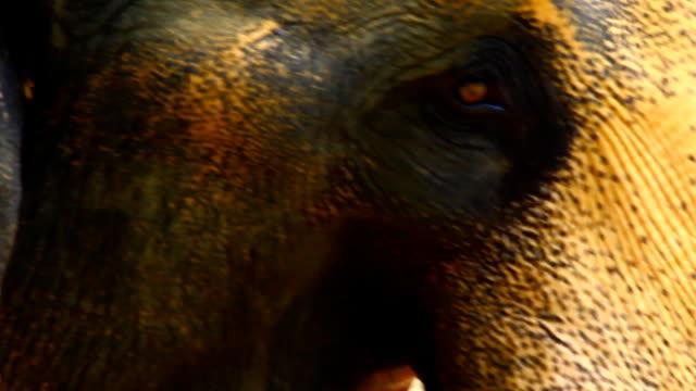 アジア象 ビデオ