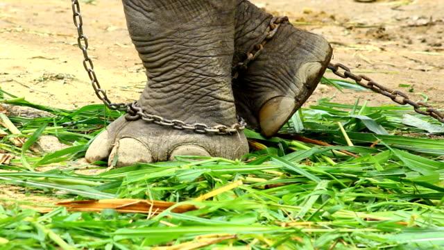 アジア象ののチェーン ビデオ