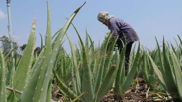 식물에서 알로에 베라를 수확 하는 아시아 여성 농부 - aloe vera 스톡 비디오 및 b-롤 화면