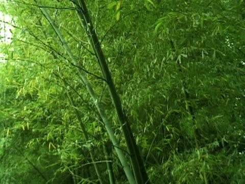 asiatische bambus-wald im wind - kambodschanische kultur stock-videos und b-roll-filmmaterial
