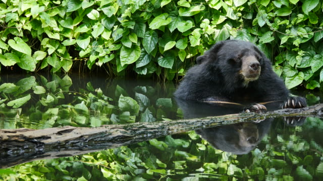 asian black bear relax in pond. - bear stock videos and b-roll footage