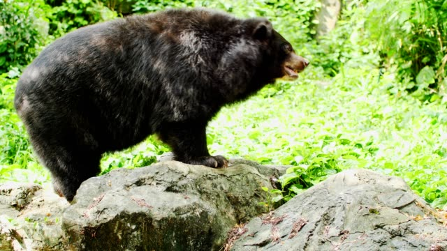 Asian black bear swing. Asian black bear swing. zoology stock videos & royalty-free footage