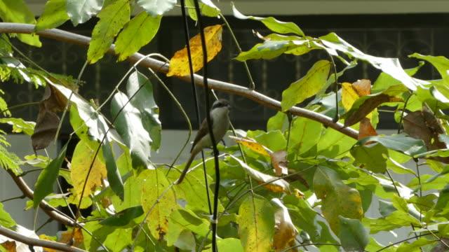Asian Brown Flycatcher video