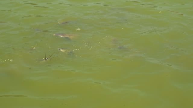 asian catfish swim in the lake and catch food with their mouths. - baffo parte del corpo animale video stock e b–roll