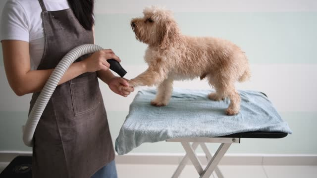 Asian chinese female pet groomer with apron grooming a brown color toy poodle dog Asian chinese female pet groomer with apron grooming a brown color toy poodle dog obedience stock videos & royalty-free footage