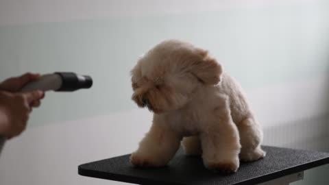 asyalı çinli kadın evde beslenen hayvan damat önlük kahverengi renk oyuncak fino köpeği köpek bakım ile - rüzgar stok videoları ve detay görüntü çekimi