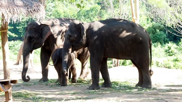 Asian elephant family mother father and baby in wildlife sanctuary or nation park.